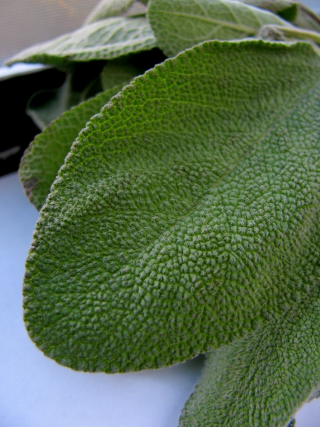 Sage Leaves blog size
