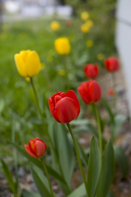 Tulips-end-of-April