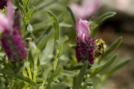 bee-lavender