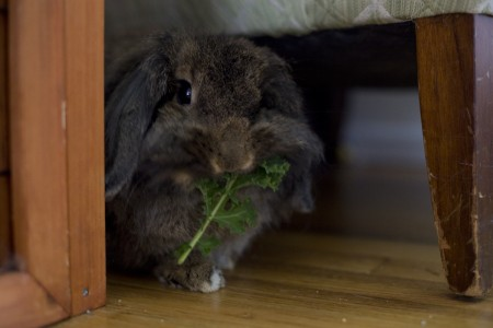 bunny-eating-kale-indoors