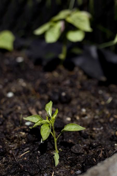 korean-pepper-seedling