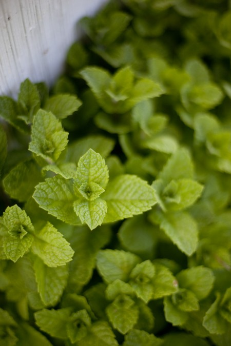 mint-plants
