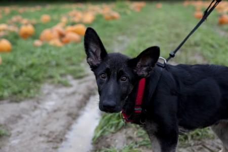 phurba-leash-pumpkin-field
