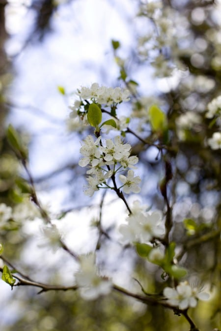 plum-blossoms-late-April