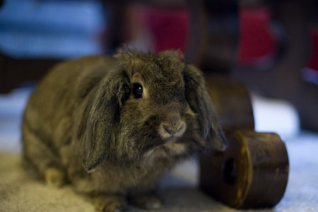 rabbit-under-coffee-table