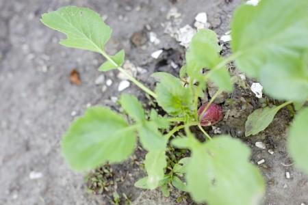 radish-growing
