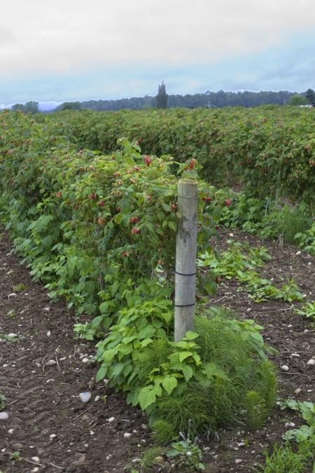 raspberry-field