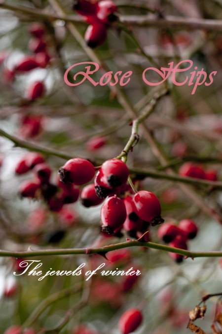 rose-hips-jewels-of-winter