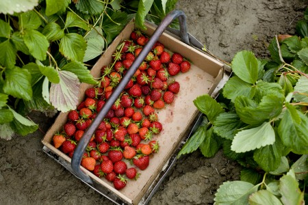 strawberries-in-field