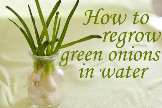 grow-green-onions-in-water
