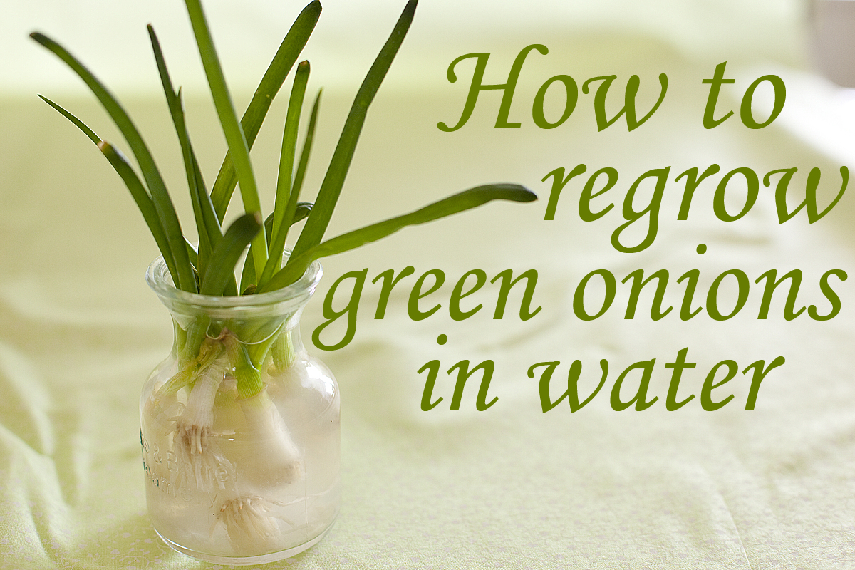 How to Grow Cut Green Onions