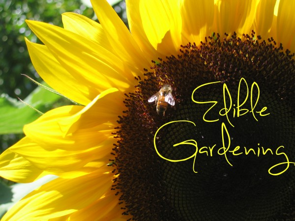 sunflower-edible-gardening