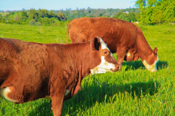 happy-cows