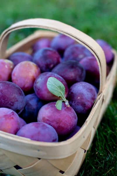 fresh-picked-plums