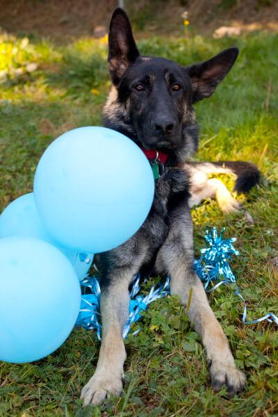 german-shepherd-balloons