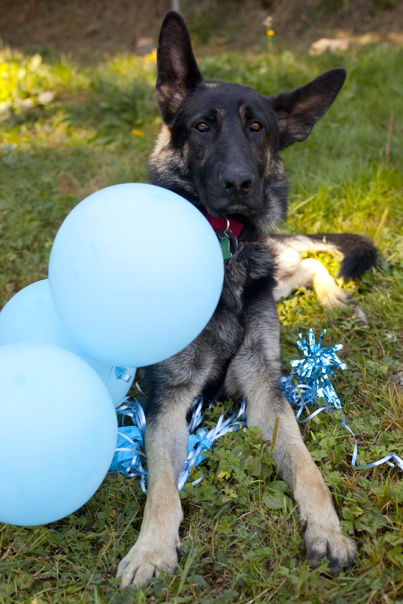 german-shepherd-balloons