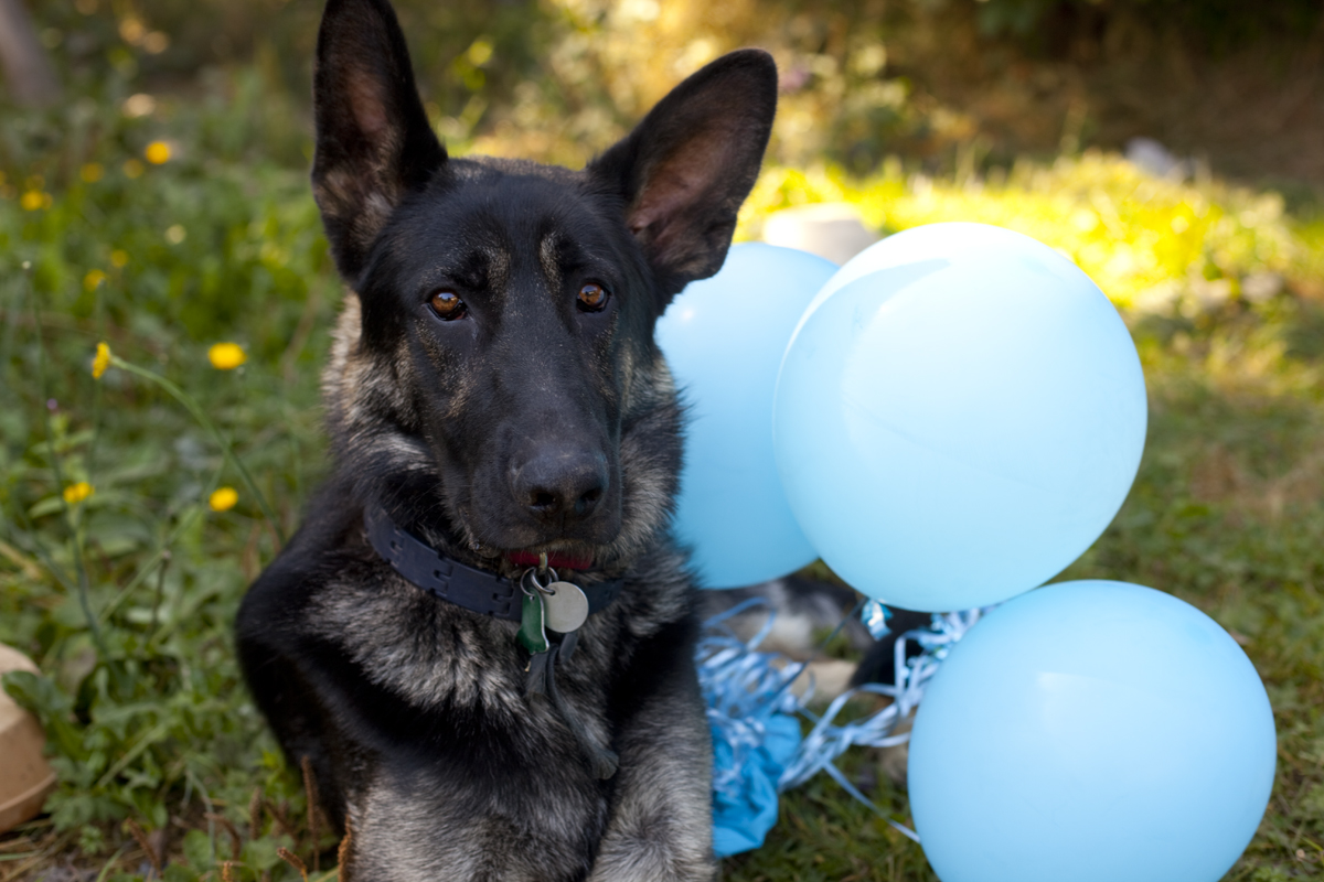german-shepherd-dog-balloons
