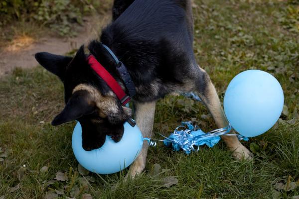 dog-hates-balloons