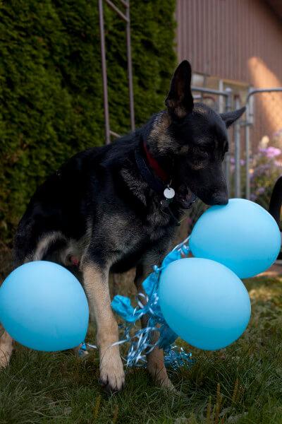dog-destroying-balloons
