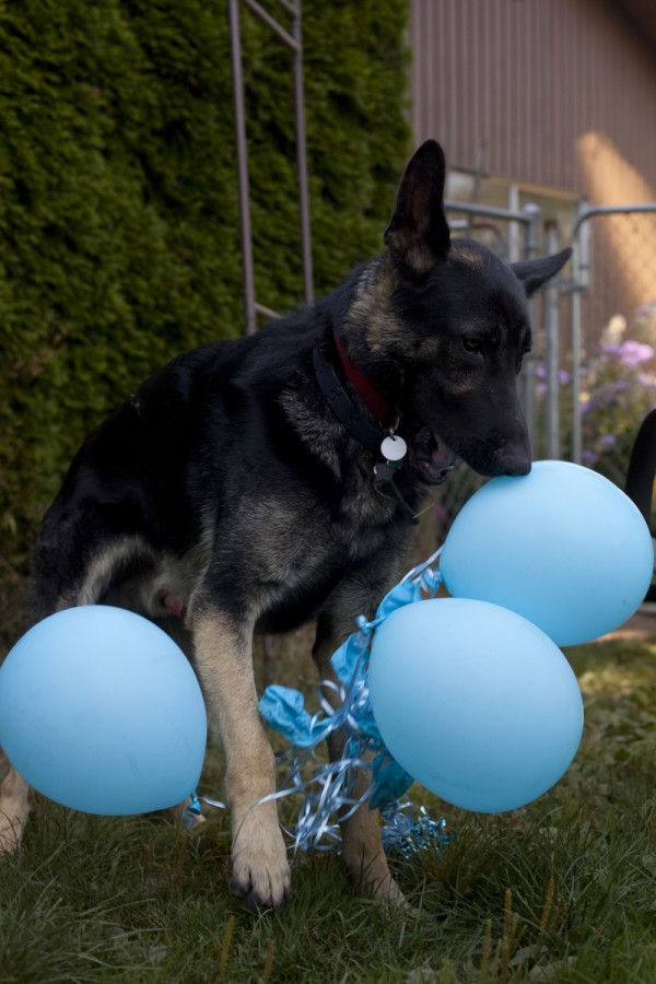 dog-destroying-balloons