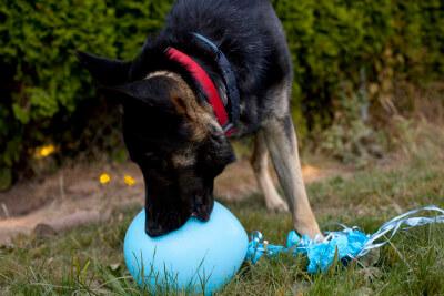 dog-biting-balloons