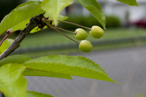 green-cherries