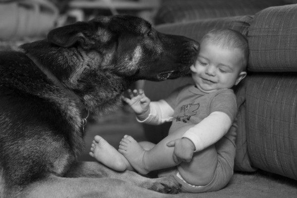 German Shepherd licking a baby - EatingRichly.com
