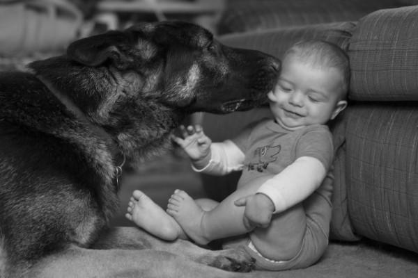 German Shepherd licking a baby - EatingRichly.com