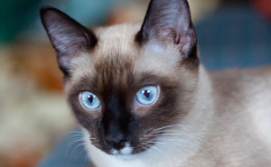 Beautiful Siamese Cat | EatingRichly.com