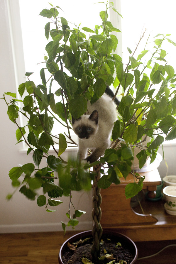 Siamese Kitten cimbing tree - EatingRichly.com