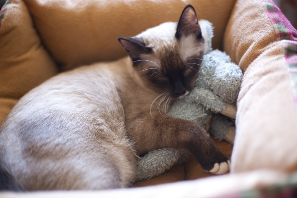 Siamese Kitten sleeping teddy bear - EatingRichly.com