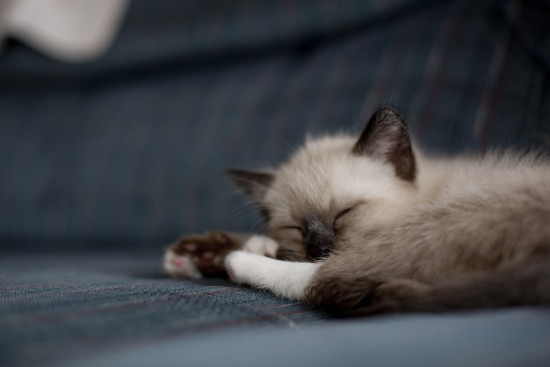 Sleeping Siamese Kitten - EatingRichly.com