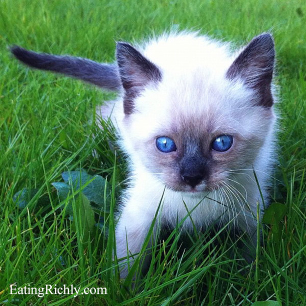 Tiny Siamese Kitten - EatingRichly.com