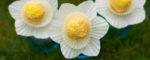 daffodil-cake-pops-featured-image-600x241