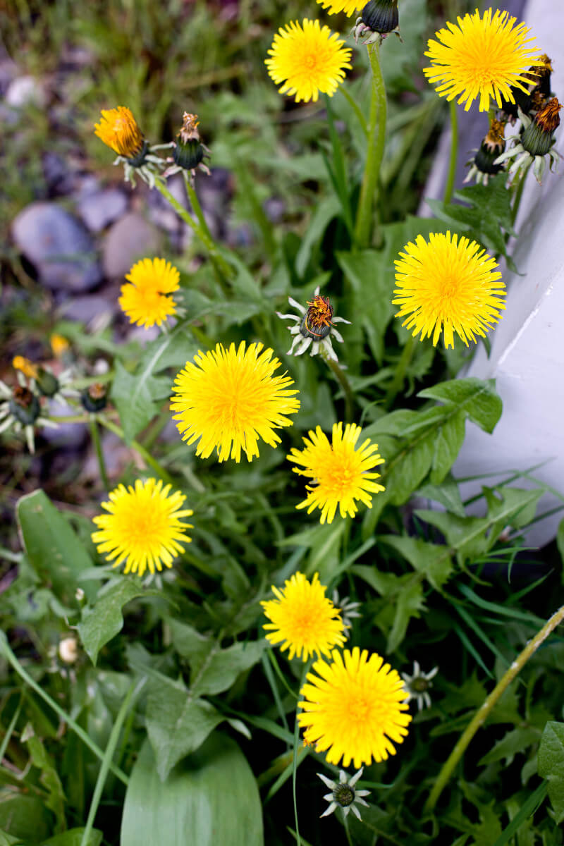 Your kids can pick a dandelion green harvest while waiting for their veggies to grow. Get more tips for growing a kids vegetable garden at EatingRichly.com