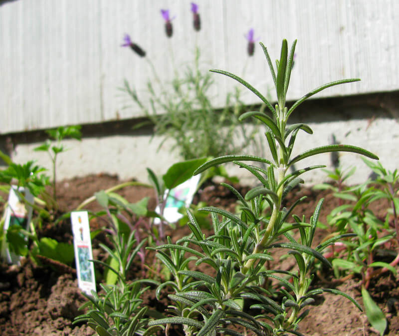 Herbs are a must have in a vegetable garden. They can be snacked on from the first day your child plants the starts, and they are great for developing your child's palate. Get more tips for growing a kids vegetable garden at EatingRichly.com